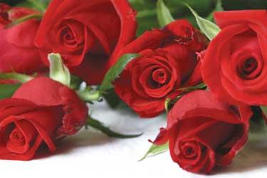 red_roses_207.jpg